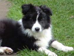 Border Collie puppies for sale Australia