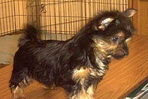 Australian Silky Terrier puppies for sale