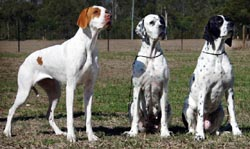 English Pointer puppies for sale Australia