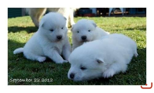 PUREBRED SAMOYED PUPPIES AVAILABLE males and females