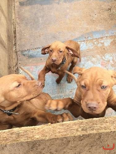 pure breed hungarian vizsla puppies
