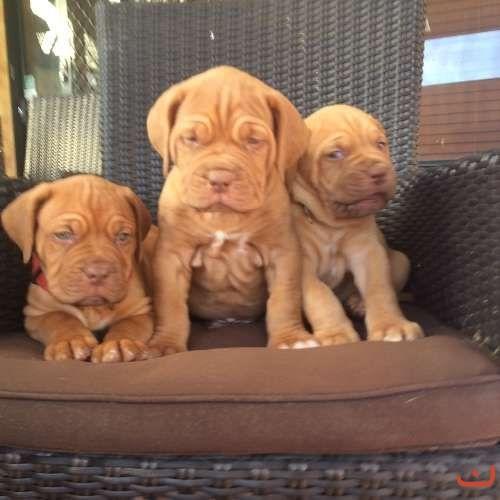 Dogue De Bordeaux pure bred Male