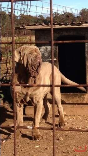 Neo mastiff puppies
