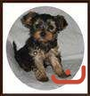Pure Yorkshire Terrier Puppy for Sale - Male Only