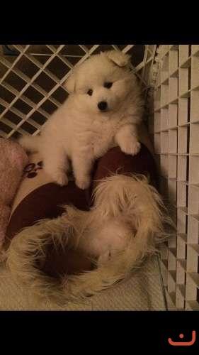 PureBred Japanese Spitz Puppies