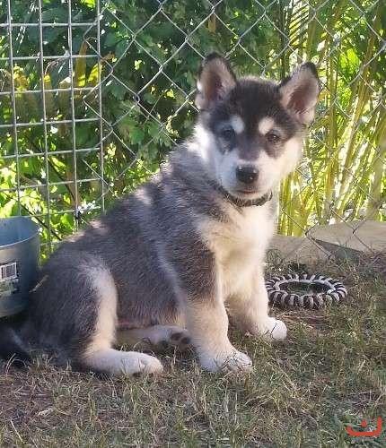 Purebred Alaskan Malamute Puppies