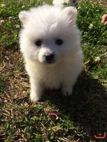 Purebred Japanese Spitz Puppies for sale
