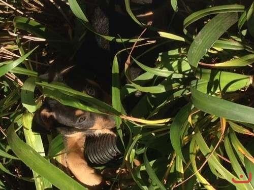Purebred Kelpie Pups
