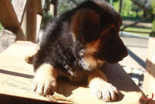Pure bred German Shepherd Pups for sale