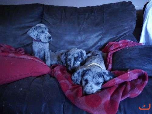 Purebred Great Dane Pups