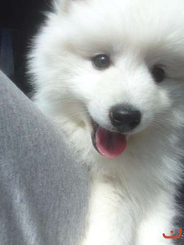 pure breed Japanese Spitz puppy