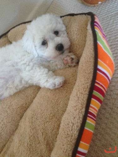 pure breed Bichon puppy