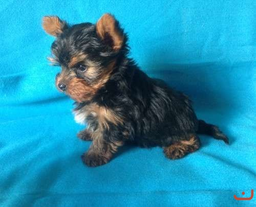 Teacup yorky puppy