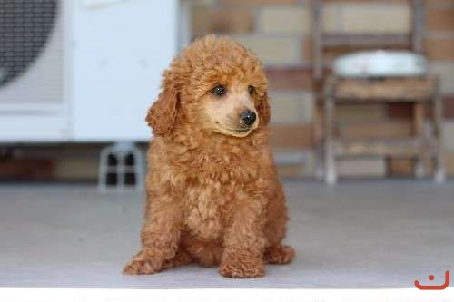 3 PUREBRED FEMALE TOY POODLES