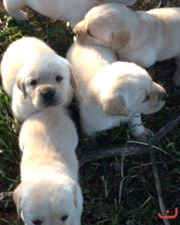 Pure breed yellow labrador pups, male & female available