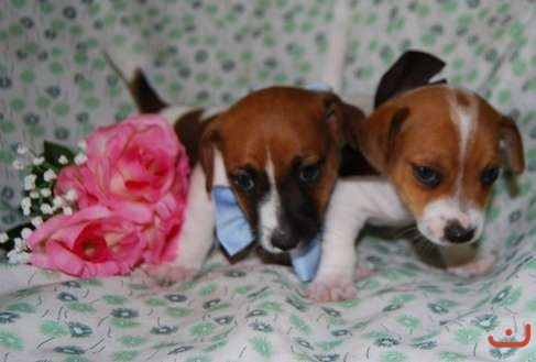 Purebred short haired Jack Russell puppies