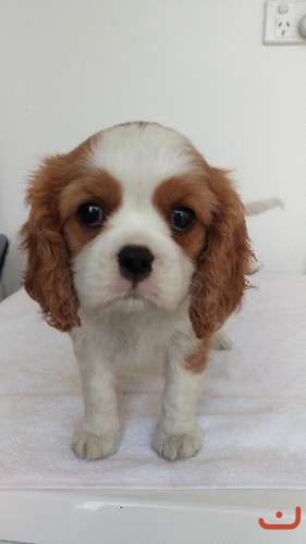 Cavalier king charles puppies for sale!