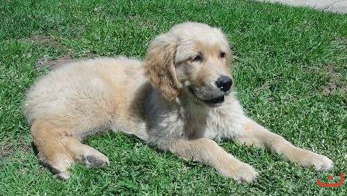 Golden Retriever Female Pup
