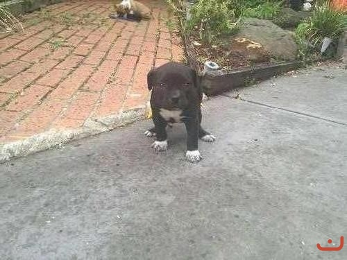 Purebred American Staffy puppies for sale