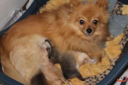 Purebred Pomeranian Puppy Female