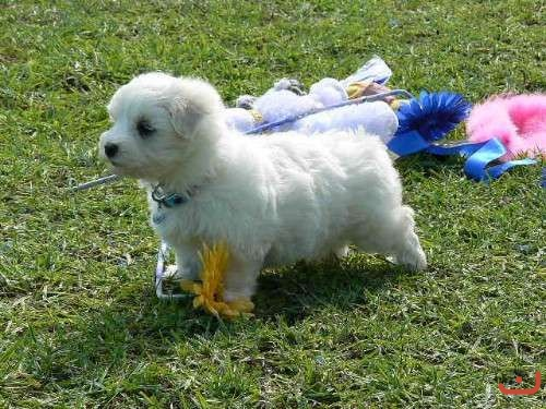 Maltese Pups Pure Breed Outstanding Quality