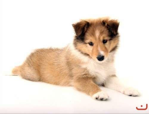Shetland Sheepdog (Sheltie) Puppy - Purebred