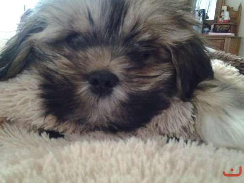 12 week old lhasa apso puppy