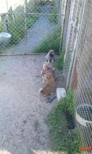 Shiba Inu puppies - 2nd litter