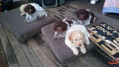 Pure Bred Lagotto Puppies