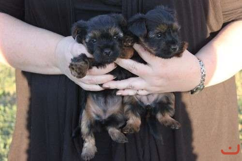 Two Australian Silky Terrier's - Girls