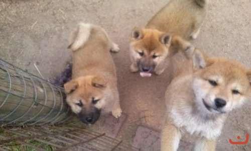 Purebred Shiba Inu puppies for sale