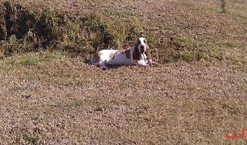 Young Basset Hound Couple