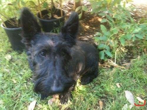 Scottish Terrier Female Adult