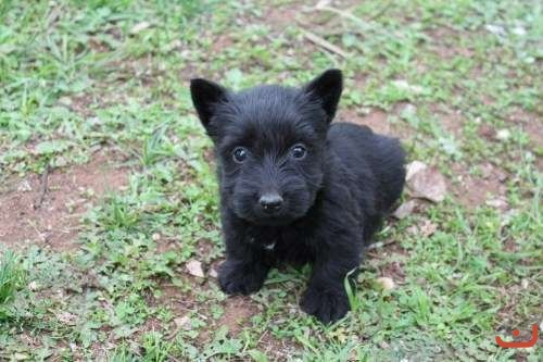 Pure Scottish Terrier pups