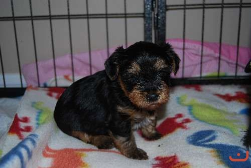 Pure bred Yorkshire Terrier