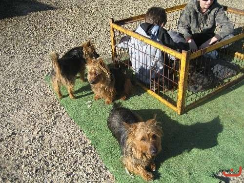 Pure Bred Australian Terrier Puppies