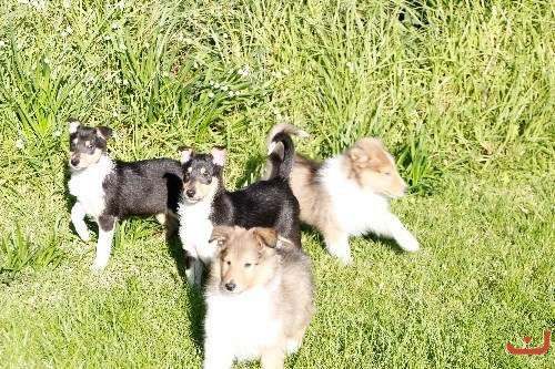 collie pups (rough & smooth)