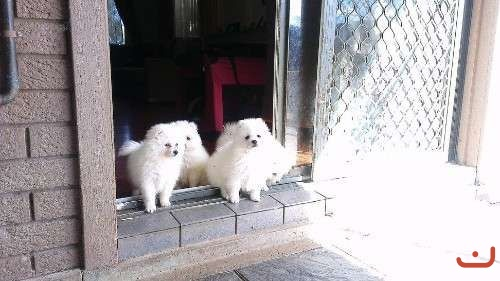 Pure Breed Japanese Spitz