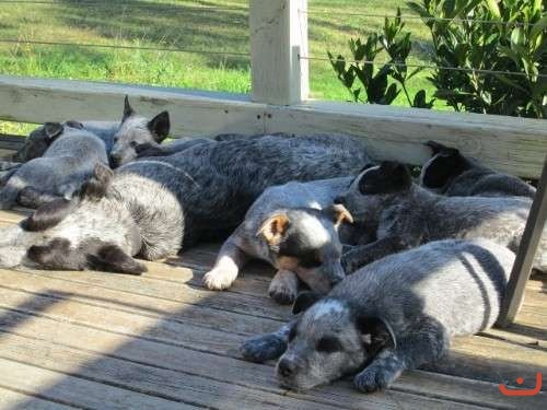 Purebreed Smithfield puppies for sale