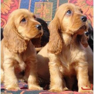PURE BRED GOLD COCKER SPANIELS - READY NOW