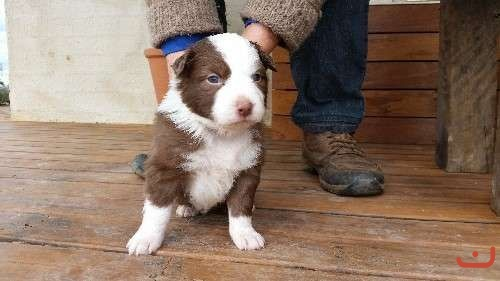 Australian Shepherd puppies Chocolate and Red Tri