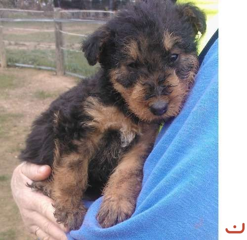 Airedale Terrier Puppies 4sale Airedale Puppy **1f-3m left
