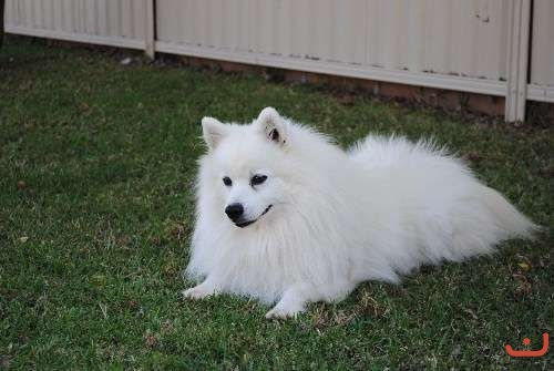 1 Male Purebred Japanese Spitz Puppy.