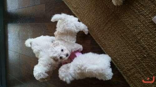Beautiful Bichion Frise Puppies