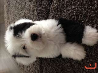 Absolutely Stunning OLD ENGLISH SHEEPDOG PUPPIES