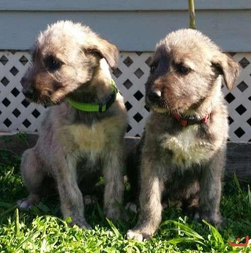 pure irish wolfhound males