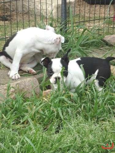 P/bred Boston Terrier Puppy's