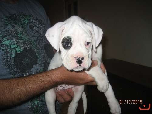 White & Brindle Boxer Puppy