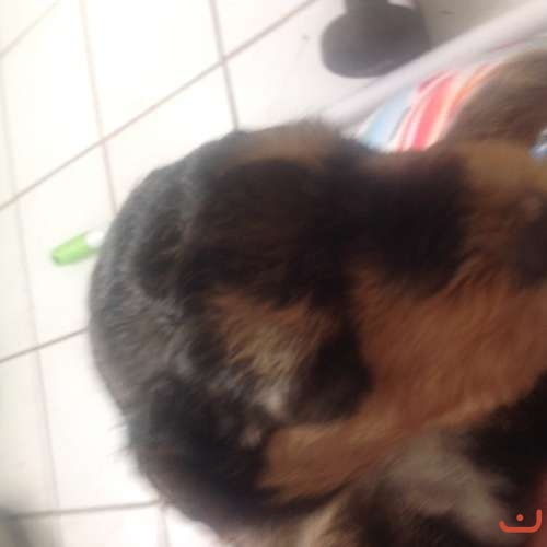 Airedale puppies. Purebred, Quality blood line, Registered