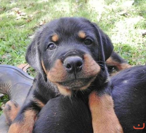 Rottweilers Puppies - Pedigree